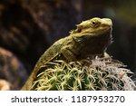 Iguana Rests On Cactus  Close...
