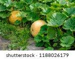 ripening pumpkin in the... | Shutterstock . vector #1188026179