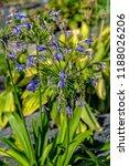 blue flowers of blooming... | Shutterstock . vector #1188026206