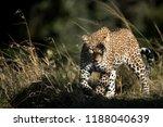 a portrait of leopard koboso at ... | Shutterstock . vector #1188040639