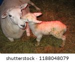 newly born lamb kissing mother... | Shutterstock . vector #1188048079