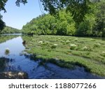 lillies on the cahaba river