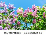 picture of lilac colored... | Shutterstock . vector #1188083566