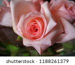 beautiful pink roses closeup on ... | Shutterstock . vector #1188261379