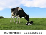 Holstein Cow Checking On...