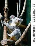 a koala on a eucalyptus gum... | Shutterstock . vector #1188281476