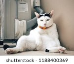 Small photo of A white cat with scowl face is look at me
