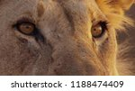 close up of female lion's face... | Shutterstock . vector #1188474409