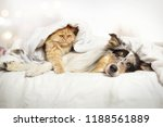 Stock photo  dog and cat are lying together in bed under the blanket 1188561889