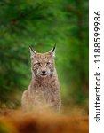 eurasian lynx sitting. wild cat ...   Shutterstock . vector #1188599986