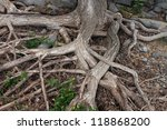 Roots From A Large Tree Trunk...