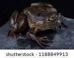 the cameroon slippery frog ... | Shutterstock . vector #1188849913