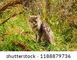 grey shaggy domestic cat... | Shutterstock . vector #1188879736