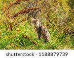 grey shaggy domestic cat... | Shutterstock . vector #1188879739