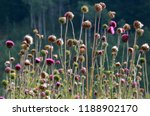 Dense Group Of Purple Thistles...