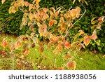 a witch hazel hamamelis showing ...   Shutterstock . vector #1188938056
