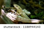 a young lizard is waiting for... | Shutterstock . vector #1188944143