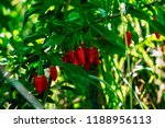 red goji berries in green... | Shutterstock . vector #1188956113
