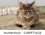 grey  shaggy and striped cat... | Shutterstock . vector #1188971626