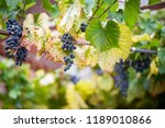 red wine plant  ready for... | Shutterstock . vector #1189010866
