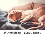 sick dog rests in the pelvis... | Shutterstock . vector #1189010869