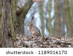 Stock photo european hare in the autumn forest brown hare lepus europaeus with long ears sitting on fallen 1189016170