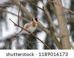 european goldfinch  carduelis... | Shutterstock . vector #1189016173