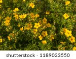 blooming shrubby cinquefoil... | Shutterstock . vector #1189023550