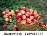 apple harvest. ripe red apples... | Shutterstock . vector #1189055749