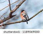 european or common bullfinch ... | Shutterstock . vector #1189069000