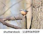 eurasian nuthatch or wood... | Shutterstock . vector #1189069009