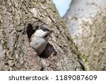 willow tit  poecile montanus ... | Shutterstock . vector #1189087609