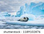 Crabeater Seal  Lobodon...