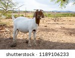 in the foreground  a goat in... | Shutterstock . vector #1189106233