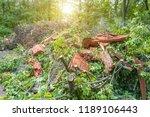 heap of old felled tree stumps... | Shutterstock . vector #1189106443