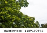 green tree with shaggy fruit | Shutterstock . vector #1189190596