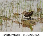 Pintail Snipe  A Wader Or Water ...