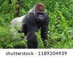 Silverback Gorilla Walking...
