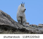 Mt Evans Mountain Billy Goat - Fine Art prints