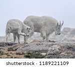 Coloado Mountain Billy Goat - Fine Art prints