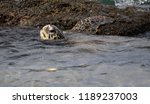 a baby green sea turtle rests...   Shutterstock . vector #1189237003
