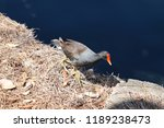 common gallinule or common... | Shutterstock . vector #1189238473