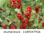 growing red currant | Shutterstock . vector #1189247926