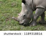 a white rhinoceros ... | Shutterstock . vector #1189318816