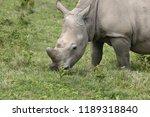 a white rhinoceros ... | Shutterstock . vector #1189318840