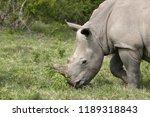a white rhinoceros ... | Shutterstock . vector #1189318843