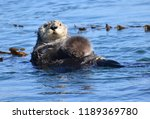 sea otter with baby sea otter... | Shutterstock . vector #1189369780