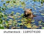 A Capybara Sticks Its Head Up...