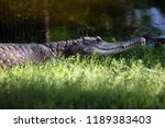 the slender snouted crocodile ... | Shutterstock . vector #1189383403