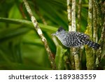 barred antshrike  thamnophilus... | Shutterstock . vector #1189383559